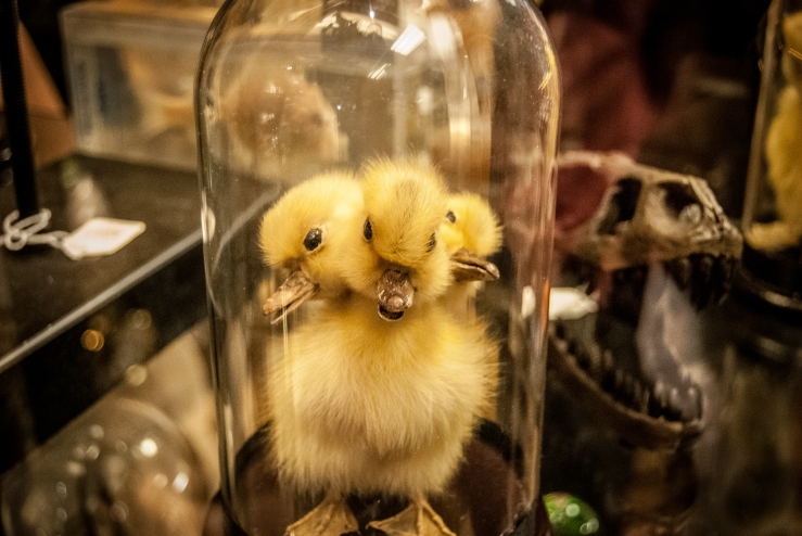 Yes. This is a three-headed duckling. For sale. #onlyinSeattle #ormaybealsoinPortland