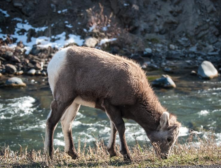 Baby bighorn sheep <3