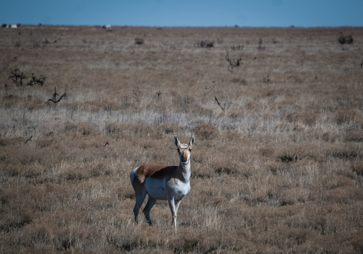 Pronghorn 1 (1 of 1)