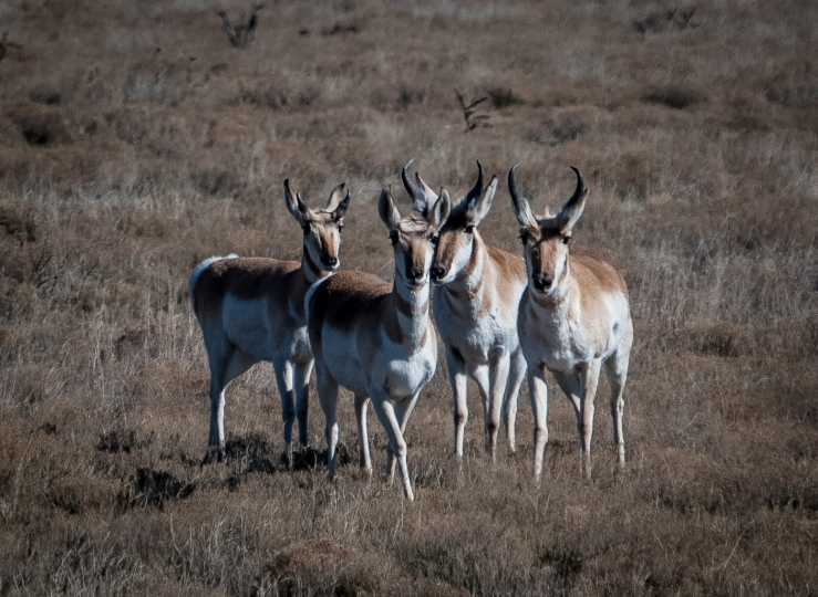 Pronghorn 2 (1 of 1)