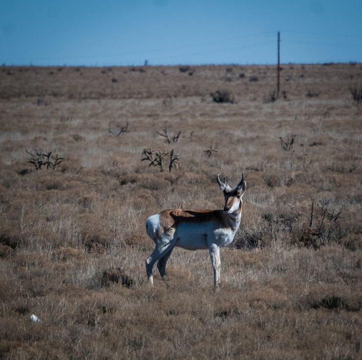 Pronghorn 4 (1 of 1)