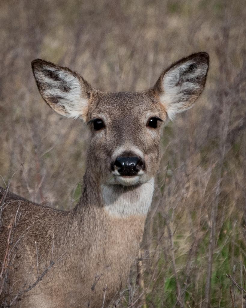 horny deer